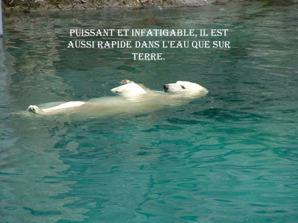 Puissant et infatigable, il est aussi rapide dans l eau que sur terre.