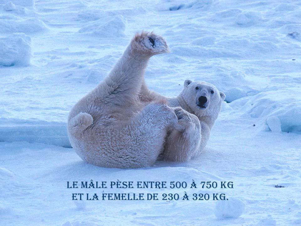 Le mâle pèse entre 500 à 750 kg et la femelle de 230 à 320 kg.