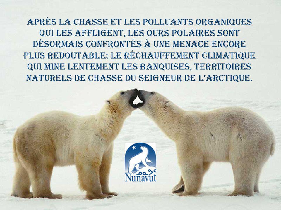 Après la chasse et les polluants organiques qui les affligent, les ours polaires sont désormais confrontés à une menace encore plus redoutable: le réchauffement climatique qui mine lentement les banquises, territoires naturels de chasse du Seigneur de lArctique.