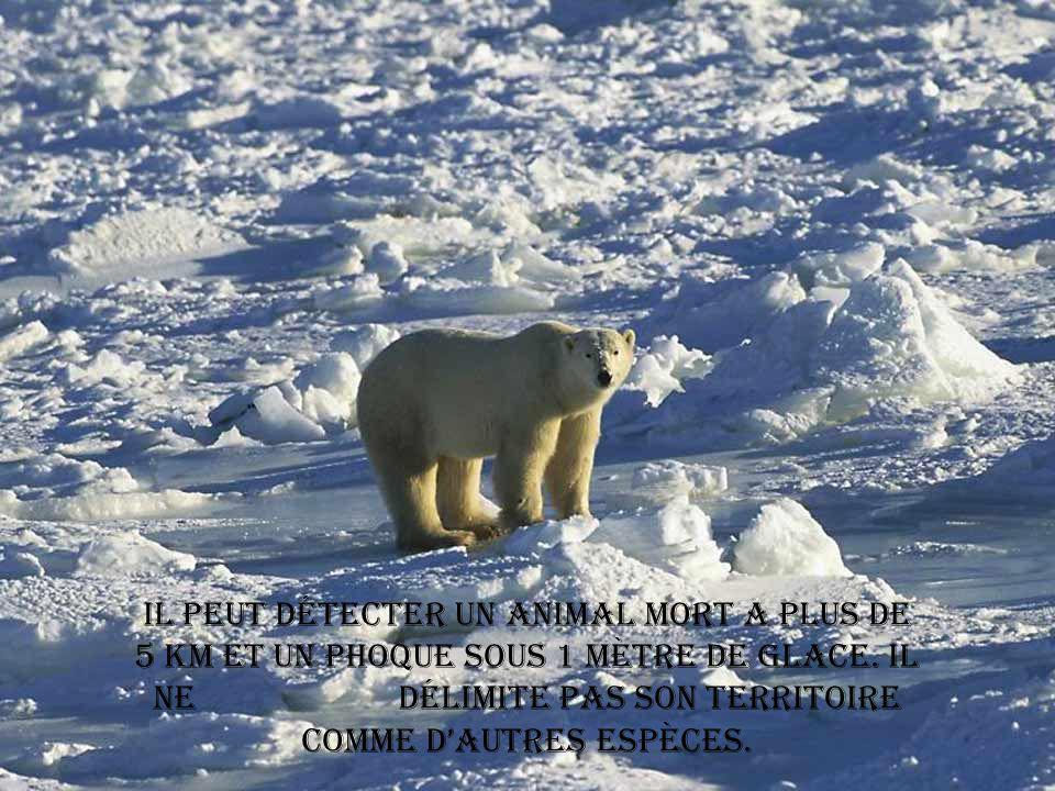 L ours polaire peut vivre plus de 20 ans.