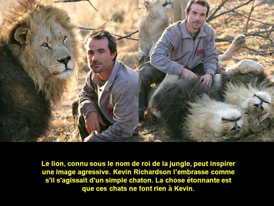 Le lion, connu sous le nom de roi de la jungle, peut inspirer une image agressive. Kevin Richardson lembrasse comme s'il s'agissait d'un simple chaton