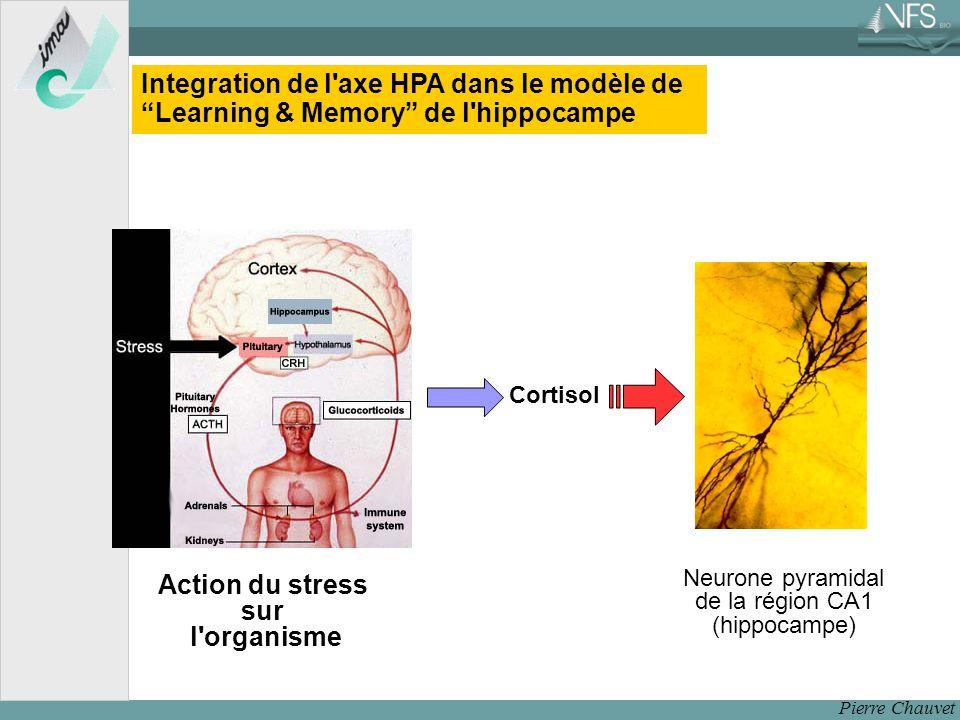 Pierre Chauvet Action du stress sur l organisme Cortisol Neurone pyramidal de la région CA1 (hippocampe) Integration de l axe HPA dans le modèle de Learning & Memory de l hippocampe
