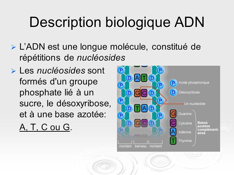 Description biologique ADN Les nucléosides sont formés d'un groupe phosphate lié à un sucre, le désoxyribose, et à une base azotée: Les nucléosides so
