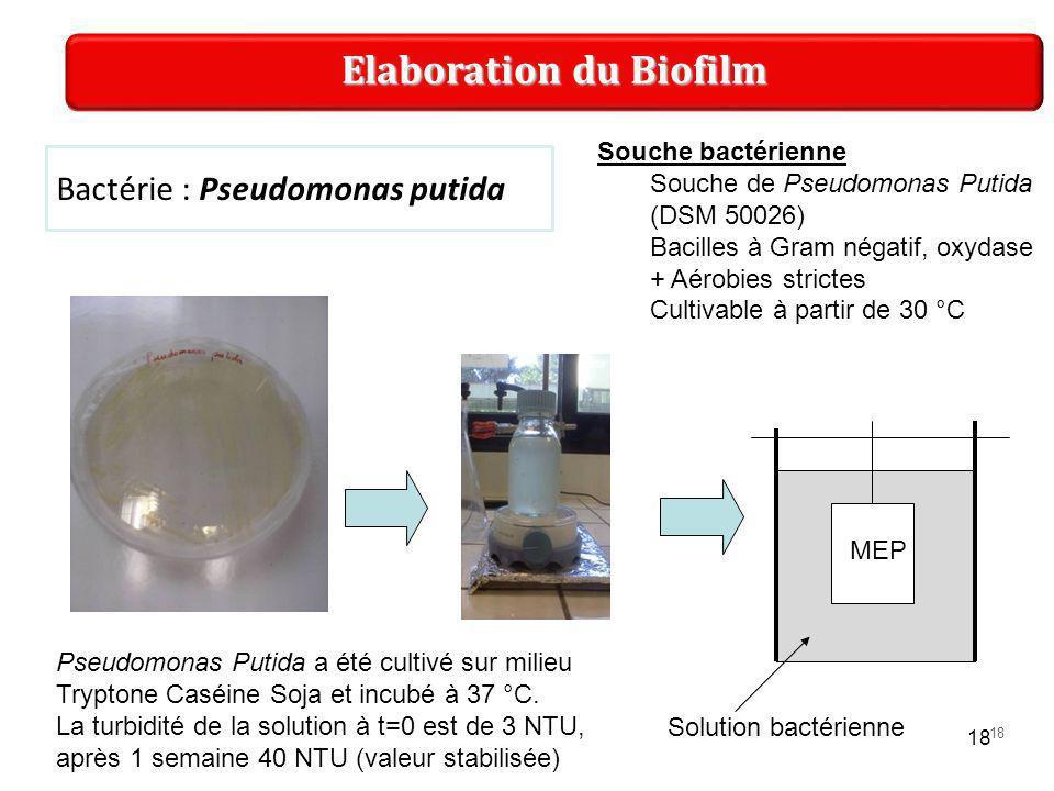 18 Bactérie : Pseudomonas putida Elaboration du Biofilm Souche bactérienne Souche de Pseudomonas Putida (DSM 50026) Bacilles à Gram négatif, oxydase + Aérobies strictes Cultivable à partir de 30 °C Pseudomonas Putida a été cultivé sur milieu Tryptone Caséine Soja et incubé à 37 °C.