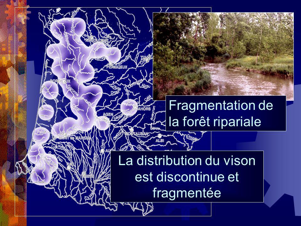 La distribution du vison est discontinue et fragmentée Fragmentation de la forêt ripariale