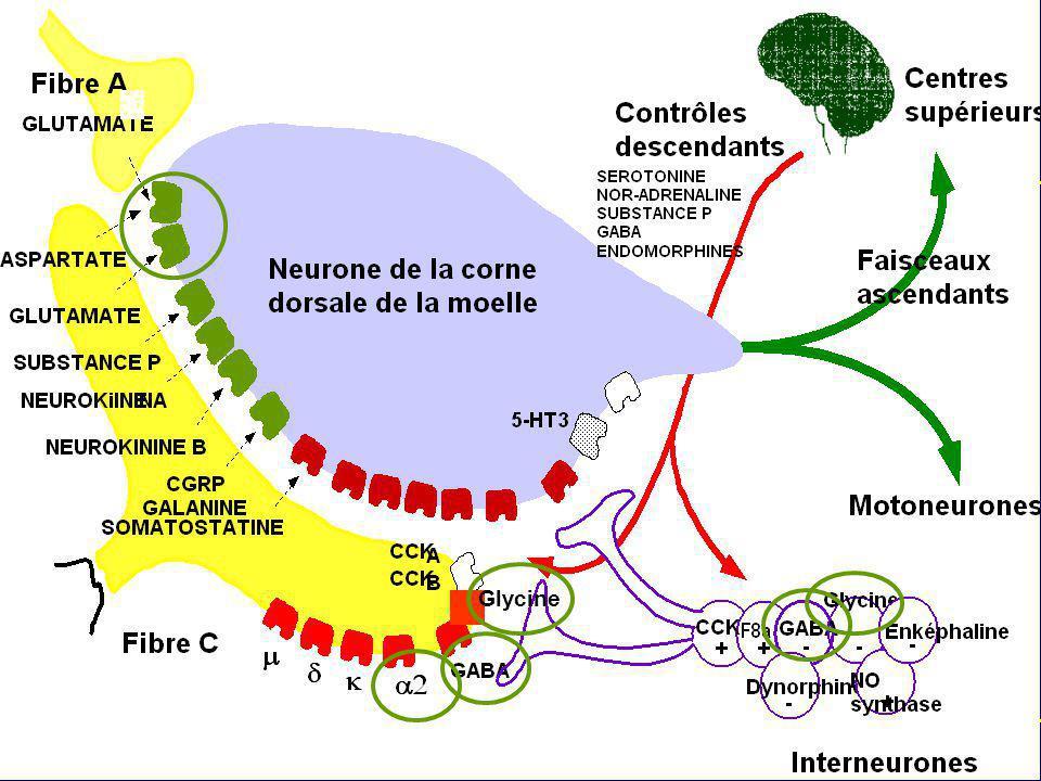 Cibles potentiels des halogénés au niveau de la corne postérieure de la moelle Glycine