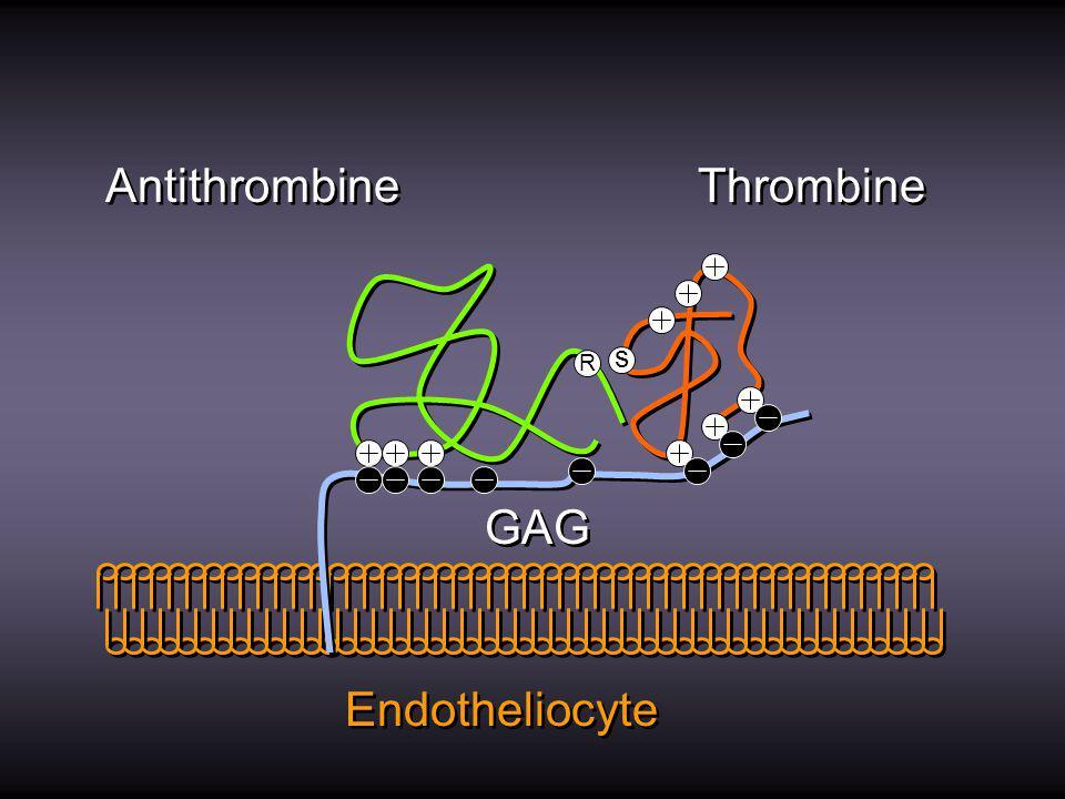 Protéine C Thr PC EPCR Thrombomoduline Endotheliocyte Dégrade Facteur Va Dégrade Facteur VIIIa Libération de t-PA Dégrade Facteur Va Dégrade Facteur VIIIa Libération de t-PA