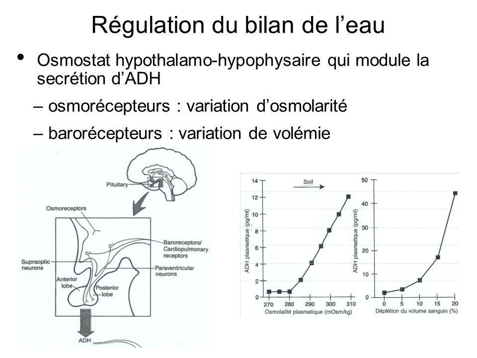 Régulation du bilan de leau Osmostat hypothalamo-hypophysaire qui module la secrétion dADH –osmorécepteurs : variation dosmolarité –barorécepteurs : v