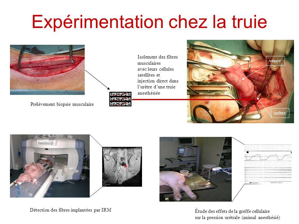 Expérimentation chez la truie Prélèvement biopsie musculaire Isolement des fibres musculaires avec leurs cellules satellites et injection direct dans