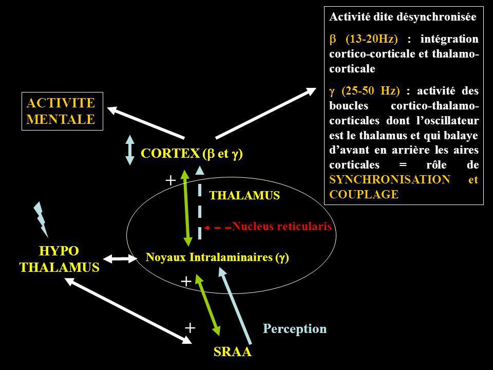 CORTEX ( et ) THALAMUS SRAA HYPO THALAMUS Noyaux Intralaminaires ( ) Nucleus reticularis ACTIVITE MENTALE Activité dite désynchronisée (13-20Hz) : int