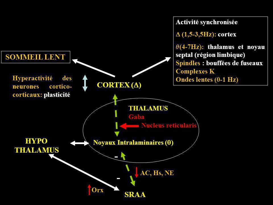 CORTEX ( ) THALAMUS SRAA HYPO THALAMUS Noyaux Intralaminaires ( ) Nucleus reticularis SOMMEIL LENT Activité synchronisée (1,5-3,5Hz): cortex (4-7Hz):