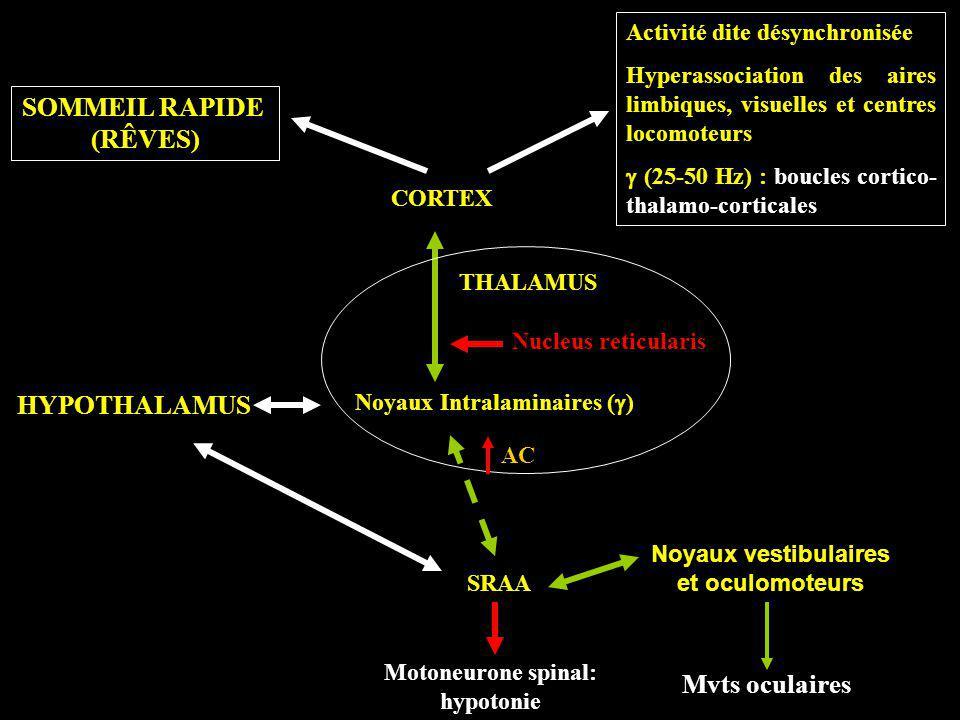 CORTEX THALAMUS SRAA HYPOTHALAMUS Noyaux Intralaminaires ( ) Nucleus reticularis SOMMEIL RAPIDE (RÊVES) Activité dite désynchronisée Hyperassociation