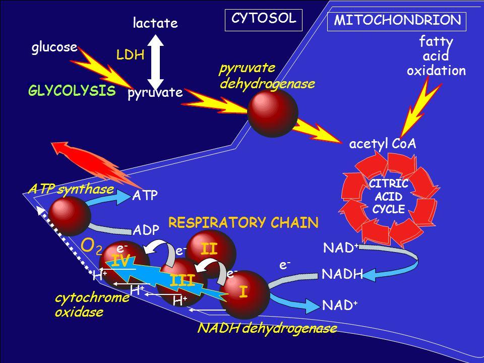 CYTOSOL MITOCHONDRION glucose GLYCOLYSIS pyruvate CITRIC ACID CYCLE NAD + NADH lactate fatty acid oxidation acetyl CoA pyruvate dehydrogenase ADP ATP ATP synthase NADH dehydrogenase NAD + e-e- cytochrome oxidase RESPIRATORY CHAIN H+H+ H+H+ H+H+ O2O2 e-e- e-e- e-e- I II III IV LDH