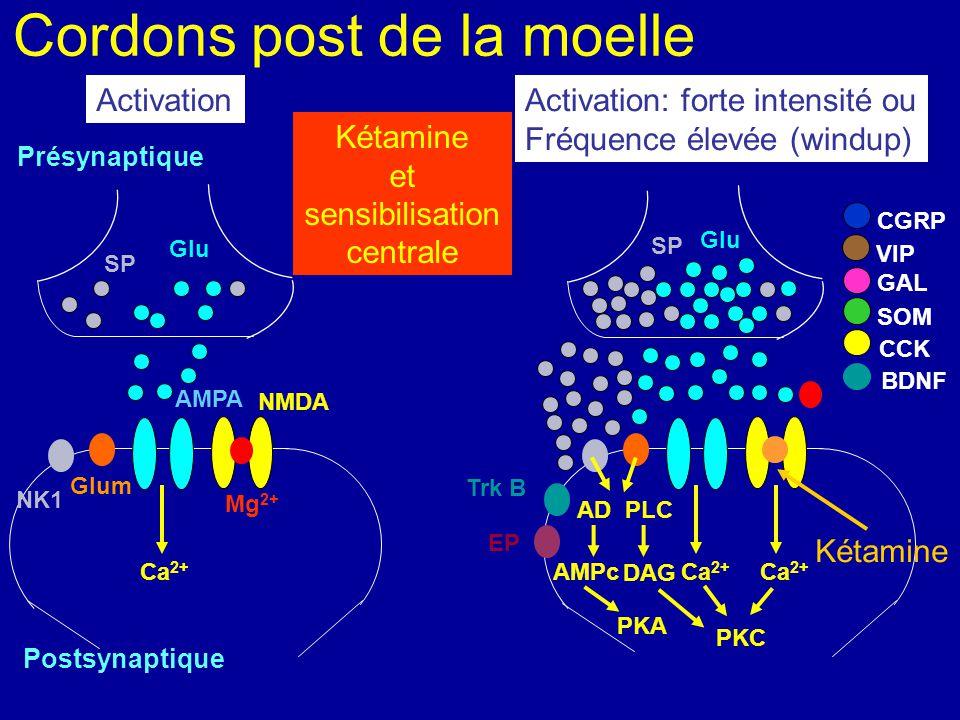 Cordons post de la moelle Présynaptique NMDA Postsynaptique AMPA Mg 2+ Ca 2+ NK1 Glum Glu Ca 2+ SP CGRP VIP SOM CCK BDNF GAL Glu SP Ca 2+ PLC Activati