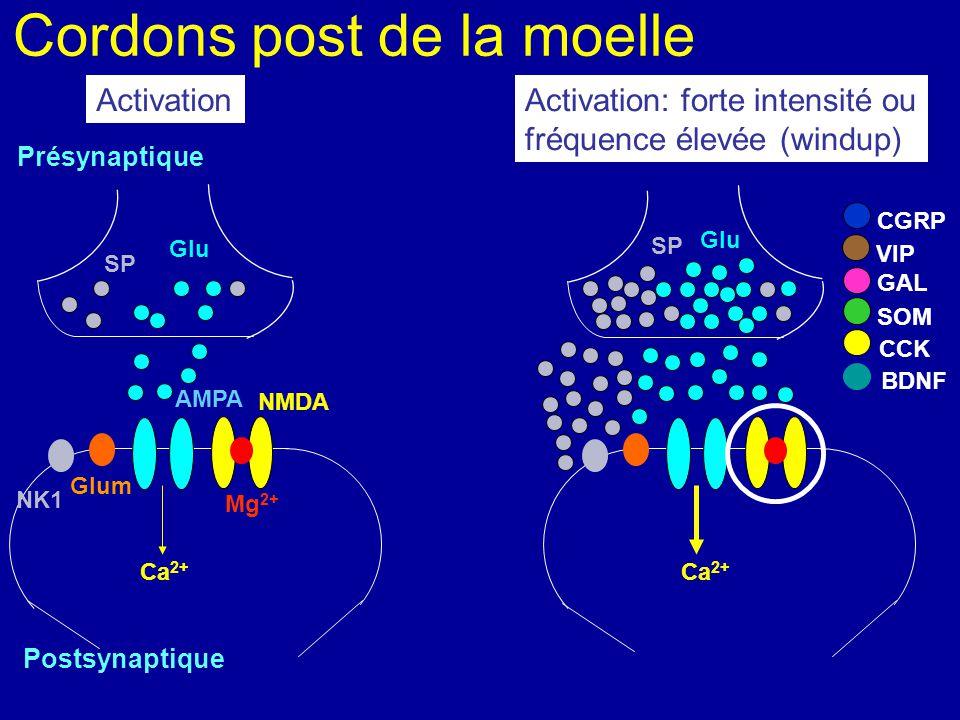 Cordons post de la moelle Présynaptique NMDA Postsynaptique AMPA Mg 2+ Ca 2+ NK1 Glum Glu Ca 2+ SP CGRP VIP SOM CCK BDNF GAL Activation SP Glu Activat