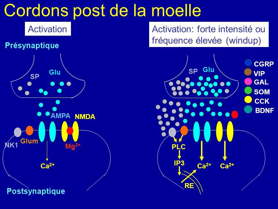 Cordons post de la moelle Présynaptique NMDA Postsynaptique AMPA Mg 2+ Ca 2+ NK1 Glum Glu Ca 2+ SP CGRP VIP SOM CCK BDNF GAL Glu SP Ca 2+ PLC ActivationActivation: forte intensité ou Fréquence élevée (windup) DAG AD AMPc PKA PKC Trk B EP