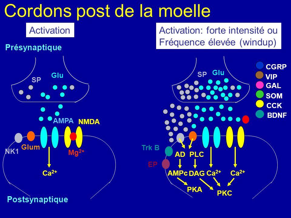 Cordons post de la moelle Présynaptique Postsynaptique Modulation: sensibilisation centrale PKC MAPK Glu SP NMDA AMPA CCVD CSVD