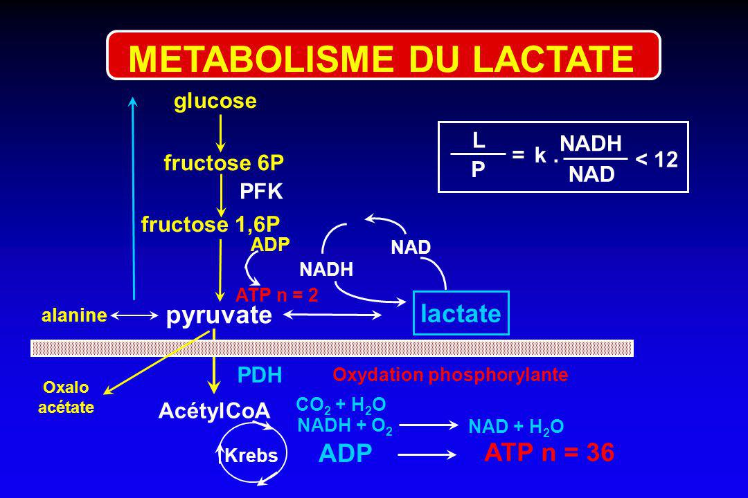 fructose 6P glucose pyruvate PFK alanine fructose 1,6P lactate NADH NAD ADP ATP n = 2 PDH AcétylCoA NADH + O 2 Krebs NAD + H 2 O ATP n = 36 ADP Oxydat