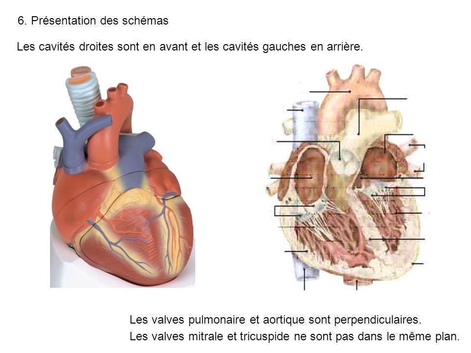 6. Présentation des schémas Les valves pulmonaire et aortique sont perpendiculaires. Les valves mitrale et tricuspide ne sont pas dans le même plan. L