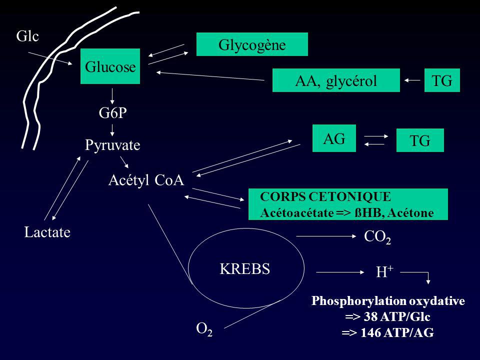 Glucose Glycogène G6P Pyruvate Acétyl CoA KREBS CO 2 H+H+ Phosphorylation oxydative => 38 ATP/Glc => 146 ATP/AG AA, glycérol AG TG CORPS CETONIQUE Acé