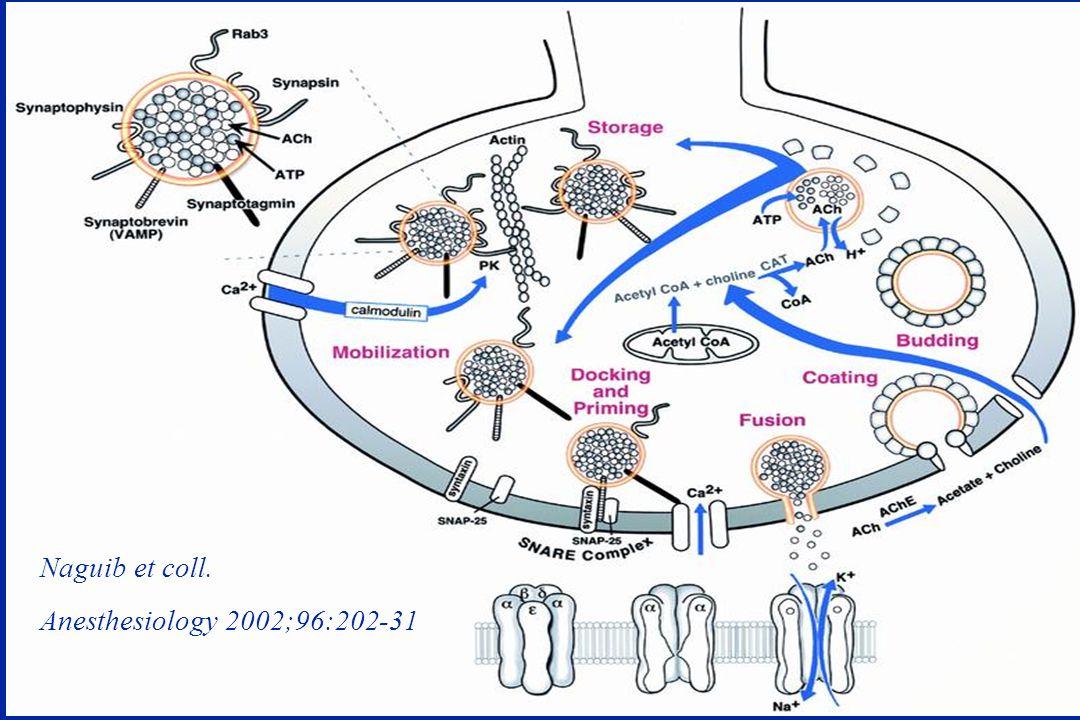 Récepteur cholinergique post-synaptique