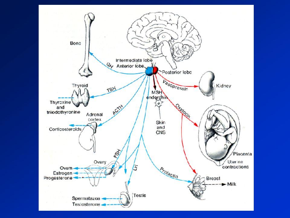 Adénome Hp : sémiologie Sd : céphalées tumoral amputation du champ visuel (hémianopsie bitemp.) paralysies oculomotrice si envahissement du sinus caverneux HTIC voire hydrocéphalie si macroadénome invasif) d autant + fréquent que les Sd endocriniens sont peu marqués Insuff anté-Hp +/- complète (mais pas de diabète insipide) Hypersécrétion anté-Hp éventuelle : prolactinome 40%, GH acromégalie, ACTH maladie de Cushing, LH/FSH, très rart TSH).