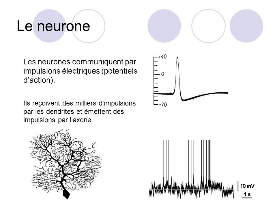 Le neurone Les neurones communiquent par impulsions électriques (potentiels daction). Ils reçoivent des milliers dimpulsions par les dendrites et émet