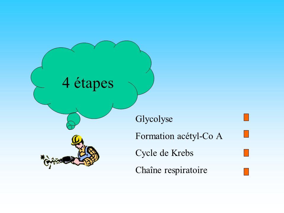 La respiration cellulaire But:Produire de lénergie Molécule énergétique:ATP Produite soit directement soit par lintermédiaire de NADH 2 ou FADH 2