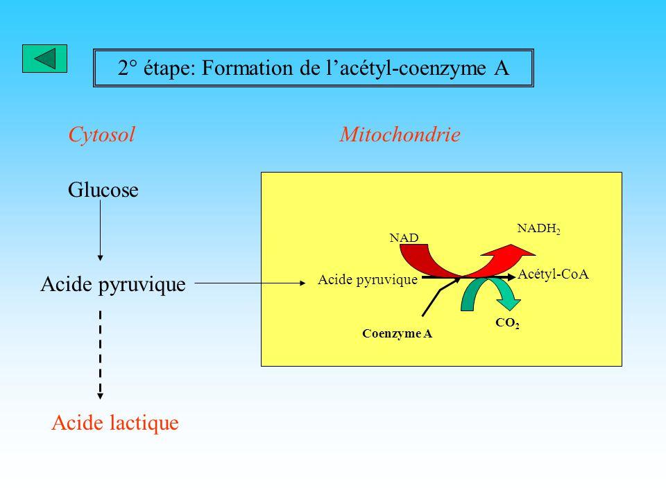 1° étape:La glycolyse 2 NAD 2NADH 2 4ADP 4 ATP 2 ATP 2 ADP C-C-C-P Dihydroxyacétone phosphate C-C-C-P 3-phospho- glycéraldéhyde 2 C-C-C Acide pyruviqu