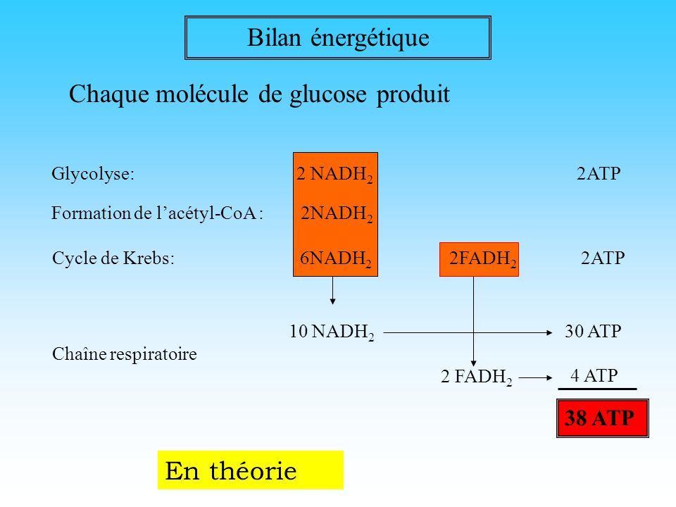 4° étape: la chaîne respiratoire NADH 2 NAD FADH 2 FAD ADP ATP 2H + 2e - 2Cyt b +++ 2Cyt b ++ 2Cyct a ++ 2Cyct a +++ 2Cyt c ++ 2Cyt c +++ 2e - 2Cyt ox