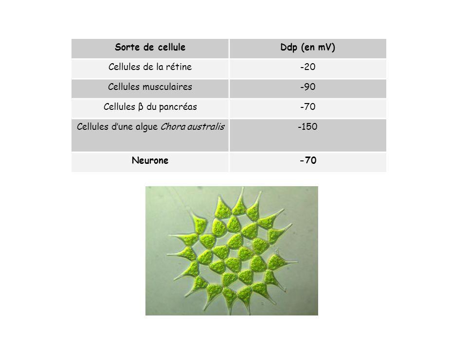 Sorte de celluleDdp (en mV) Cellules de la rétine-20 Cellules musculaires-90 Cellules β du pancréas-70 Cellules dune algue Chora australis-150 Neurone