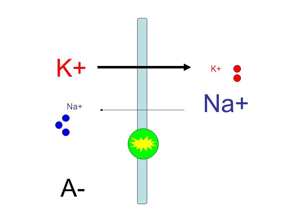 K+ A- Na+