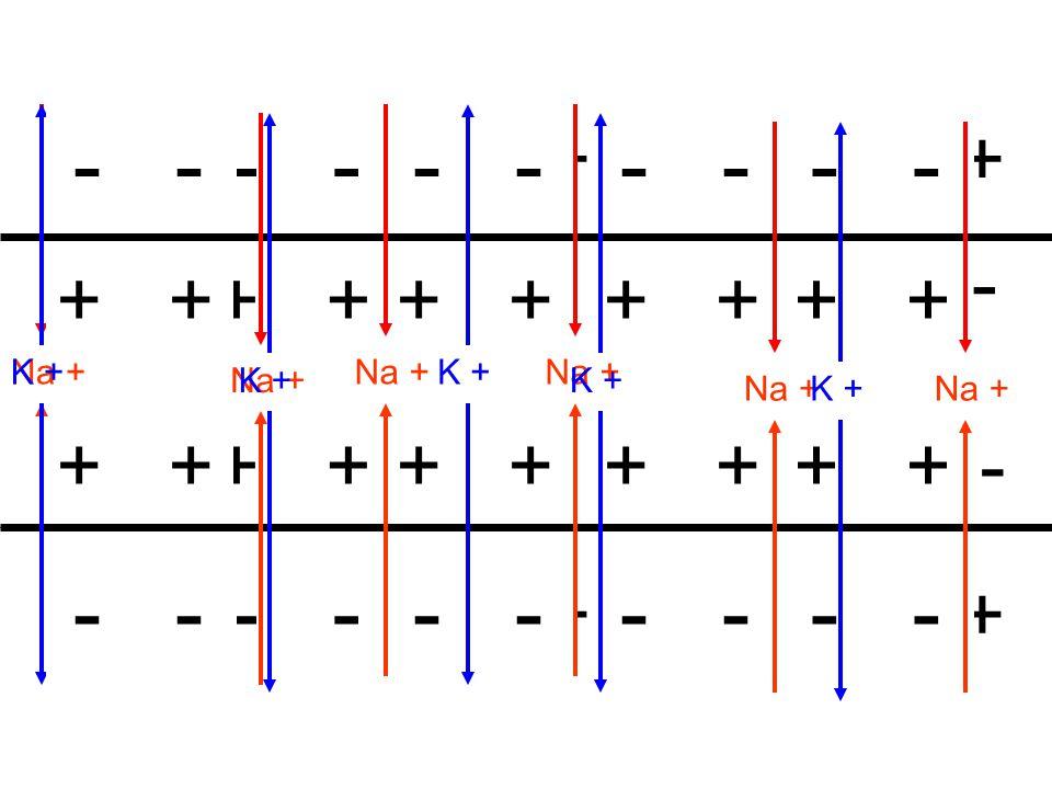 ++++++++++++++ ++++++++++++++ - - - - - - - - - - - - + K +Na + - + - + K +Na +K +Na + - + K +Na + - + K +Na +