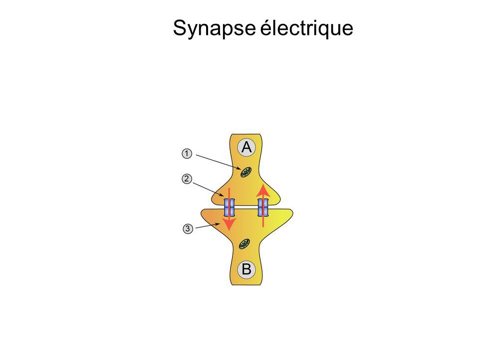 Synapse électrique