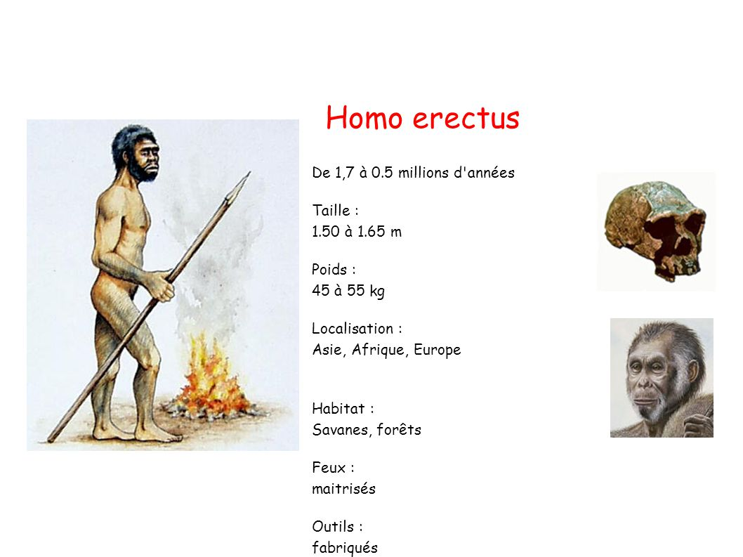 Homo erectus De 1,7 à 0.5 millions d années Taille : 1.50 à 1.65 m Poids : 45 à 55 kg Localisation : Asie, Afrique, Europe Habitat : Savanes, forêts Feux : maitrisés Outils : fabriqués