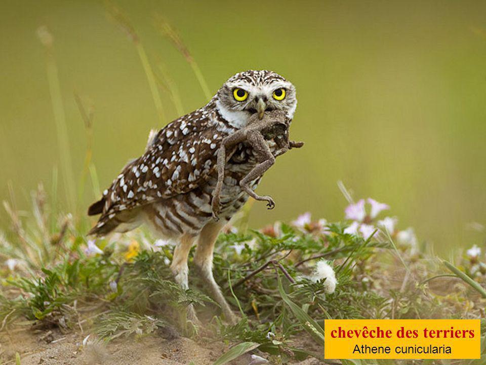 Grand-duc ascalaphe Bubo ascalaphus