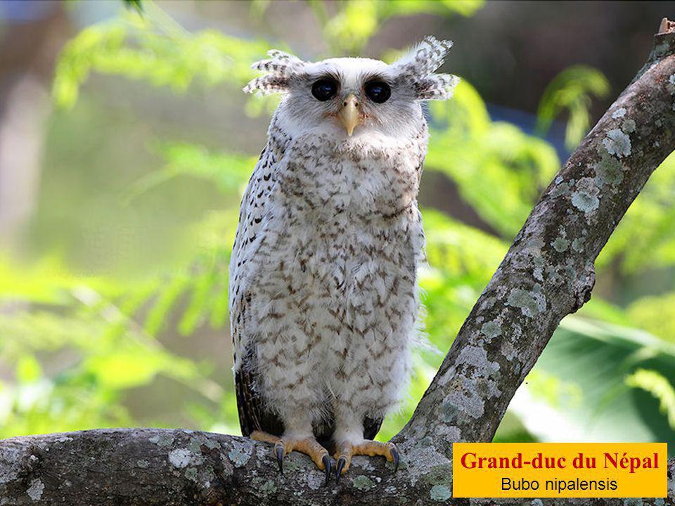 Grand-duc du Cap Bubo capensis