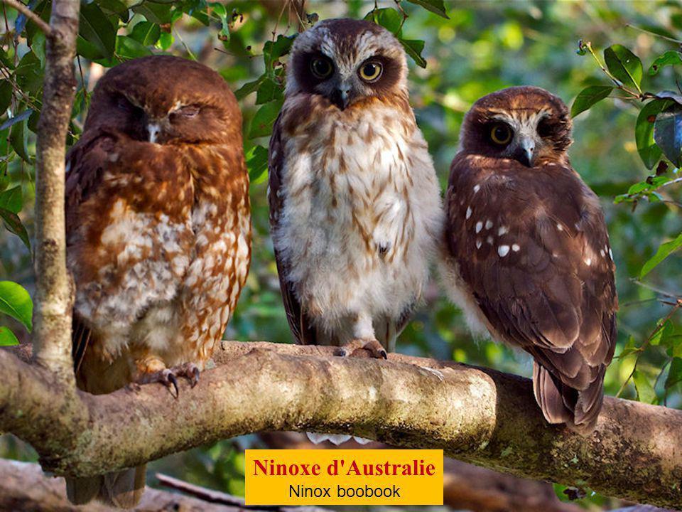 Ninoxe aboyeuse Ninox connivens