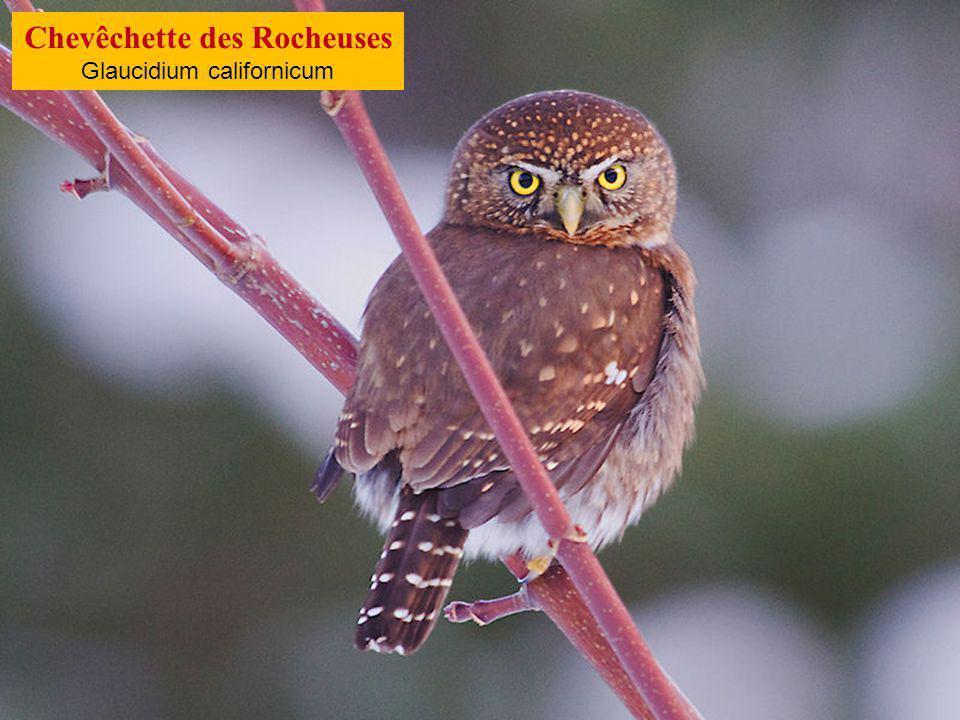 Effraie des Célèbes Tyto rosenbergii