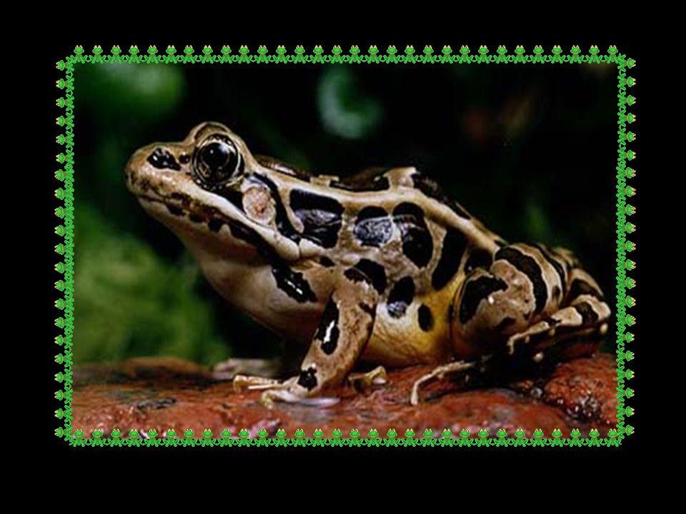 A la fin toutes les grenouilles Avaient abandonné