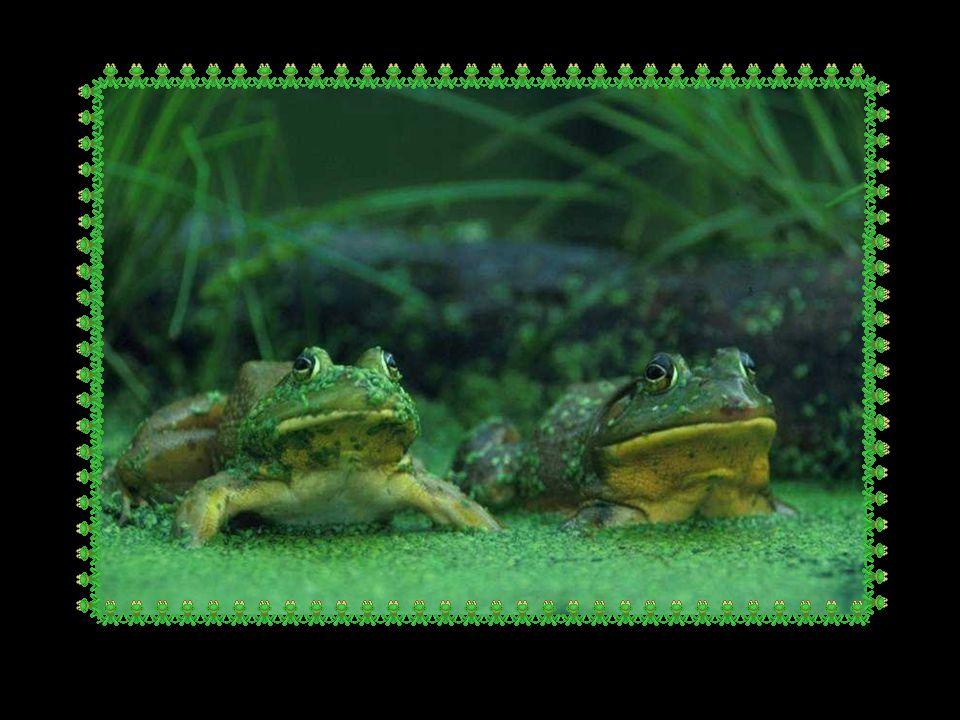Une course de grenouilles fut organisée