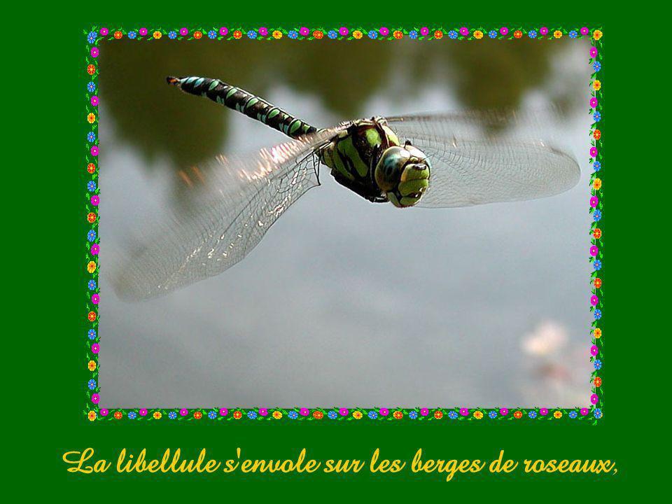 La libellule s envole sur les berges de roseaux,