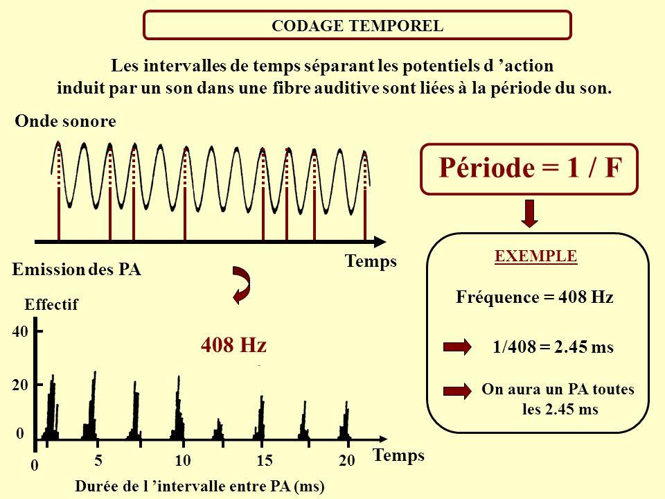200Hz SON COMPLEXE SON PUR 200Hz CODAGE SPECTRAL: Nouveaux modèles Membrane basilaire 200Hz Chaque composante spectrale donne lieu à une excitation bi