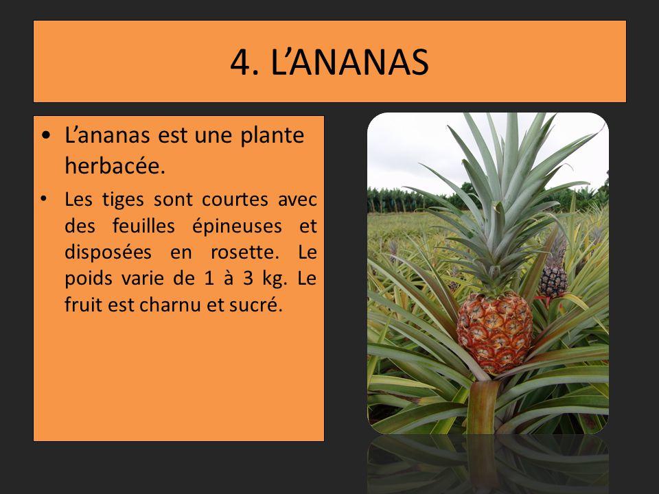 3. LE BANANIER Le bananier est une plante herbacée. La banane est un fruit sans graine ; sa chair est molle et savoureuse.