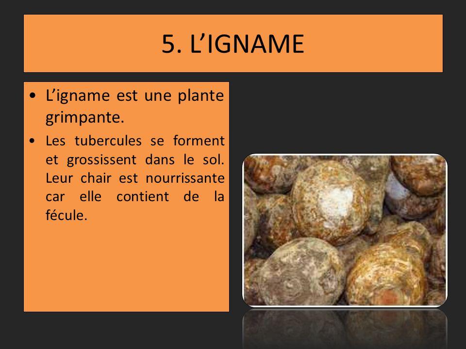 5.LIGNAME Ligname est une plante grimpante. Les tubercules se forment et grossissent dans le sol.