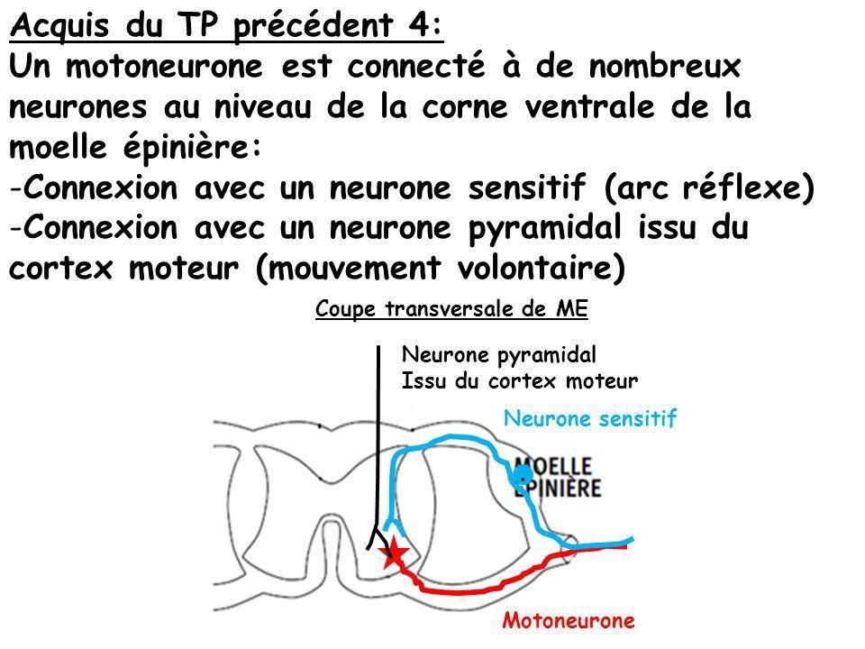 Acquis du TP précédent 4: Un motoneurone est connecté à de nombreux neurones au niveau de la corne ventrale de la moelle épinière: -Connexion avec un