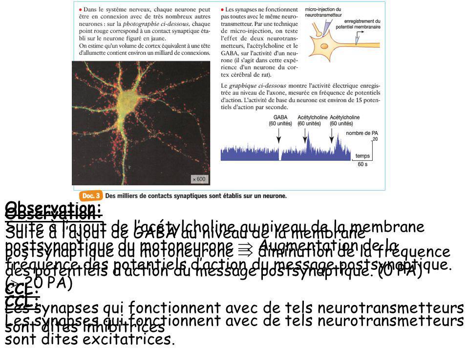 Observation: Suite à lajout de lacétylcholine au niveau de la membrane postsynaptique du motoneurone Augmentation de la fréquence des potentiels dacti