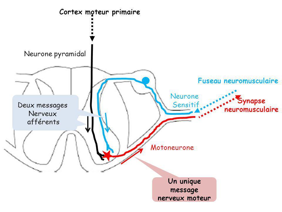 Neurone pyramidal Neurone Sensitif Motoneurone D Deux messages Nerveux afférents Un unique message nerveux moteur Cortex moteur primaire Fuseau neurom