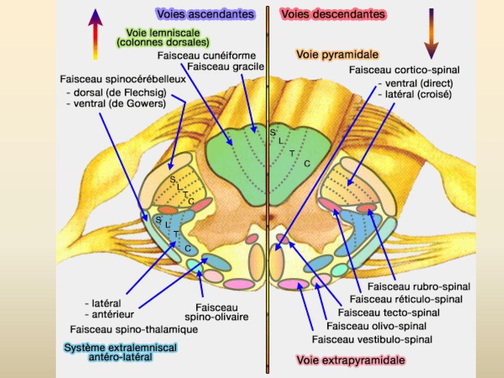 voie tecto spinale