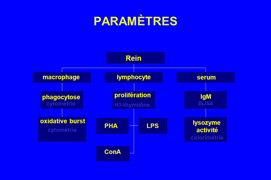 PARAMÈTRES oxidative burst cytométrie phagocytose cytométrie macrophage PHALPS ConA prolifération H 3 -thymidine lymphocyte lysozyme activité colorimétrie IgM ELISA serum Rein
